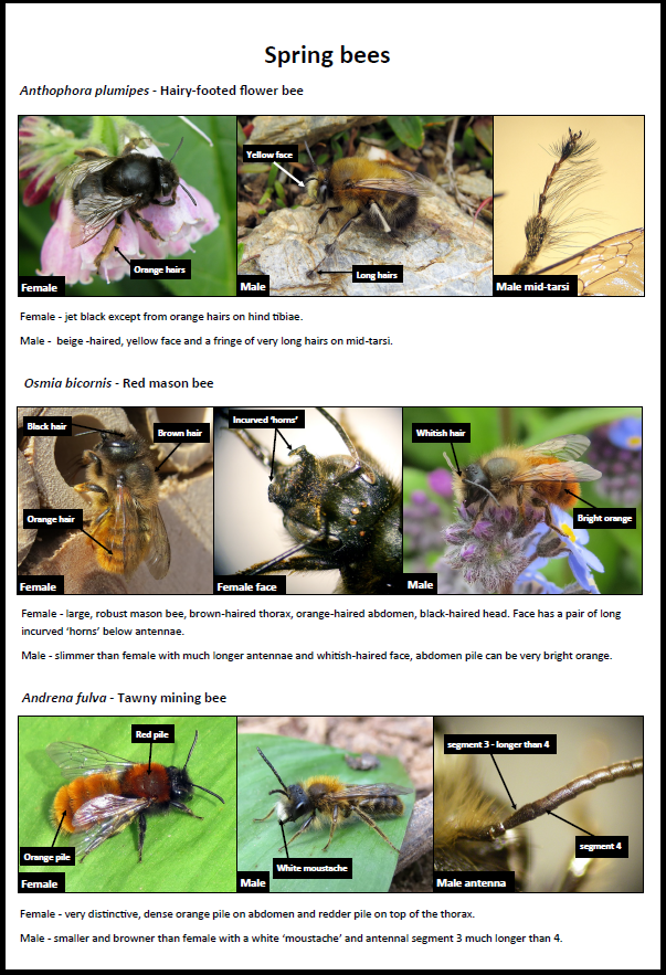 Spring Bees ID Guide