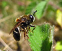 Hoverfly (Syrphidae) Checklist for VC58, VC59 & VC60