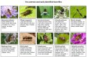 Ten common and easily identified hoverflies