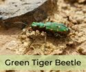 Beetle Species of the Day